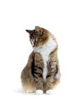 Cat. Norwegian forest cat looking down Royalty Free Stock Image