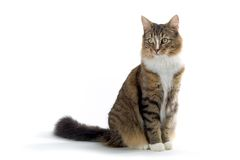 Cat. Norwegian forest cat sitting on the ground isolated on a white background Royalty Free Stock Photos
