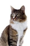 Cat. Norwegian forest cat portrait looking sidewards Stock Photos