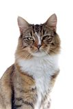 Cat. Norwegian forest cat portrait looking sidewards Royalty Free Stock Photo