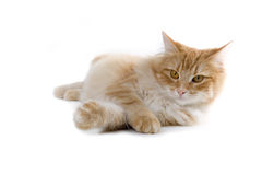 Cat. Red norwegian forest cat laying down with his feet crossed Royalty Free Stock Photo