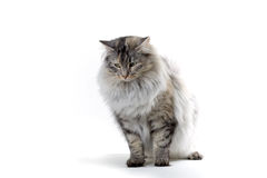 Cat. Big silver norwegian forest cat looking down Stock Images