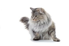 Cat. Silver norwegian forest cat looking sidewards Royalty Free Stock Image