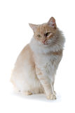 Cat. Norwegian forest cat sitting down Stock Photography