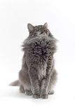 Cat. Norwegian forest cat looking up Stock Images
