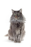 Cat. Norwegian forest cat sitting down Stock Photo