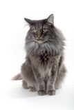 Cat. Silver brown norwegian forest cat with green eyes Royalty Free Stock Images
