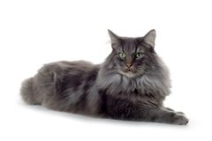 Cat. Norwegian forest cat laying down Stock Image