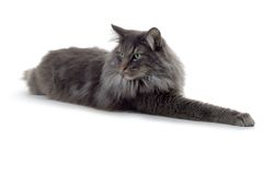 Cat. Norwegian forest cat laying down Stock Photography