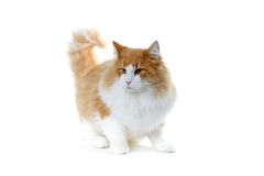 Cat. Red and white norwegian forest cat ready to jump Royalty Free Stock Photos