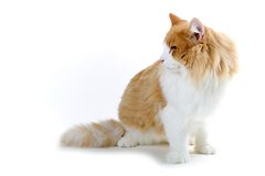 Cat. Red and white norwegian forest cat looking sidewards Stock Photography