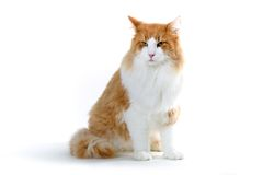 Cat. Big male norwegian forest cat in red and white Stock Images