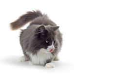 Cat. Norwegian forest cat looking down and licking his mouth Stock Photography