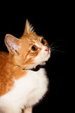 Cat. Red Cat isolated on black background, looking away stock photo