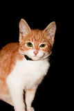 Cat. Red Cat isolated on black background, looking at you stock photos
