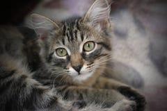 Cat Royalty Free Stock Image