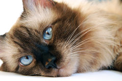 Cat. This photo illustrates one of the most beautiful Siamese breeds of cats - The Balinese cat Stock Photo