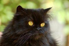 Cat. Beautiful Persian brown cat with golden eyes Stock Photos