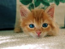 Cat. A kitten looking at the camera Royalty Free Stock Image