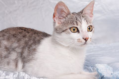 Cat. Baby cat lying on a silk bedspread Royalty Free Stock Photos