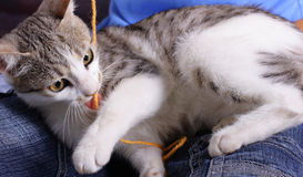 Cat. Baby cat playing with rope Royalty Free Stock Images