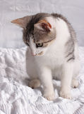 Cat. European cat cub ready for action Royalty Free Stock Photography