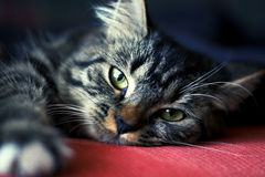 Cat. My cat staring at me Royalty Free Stock Photography
