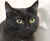 Cat. Face of the black cat royalty free stock photo