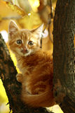 Cat. Tabby  wild amber yellow coat fur kitten tom Royalty Free Stock Photography