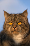 Cat. With a yellow eyes stock image