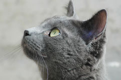 Cat. Grey cat in out side Royalty Free Stock Photo