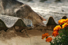 Cat. Walking on the roofs, smelling flowers Royalty Free Stock Images