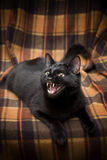 Cat. Beautiful domesticated black cat meowing stock photo
