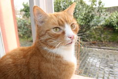 Cat. A ginger cat waiting behind the window Royalty Free Stock Photo