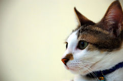 Cat. With a white and brownish fur Stock Photos