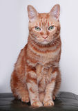 Cat. A angry cat look at the camera Royalty Free Stock Photography