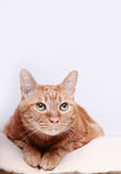 Cat. A cat in the white background Royalty Free Stock Photo