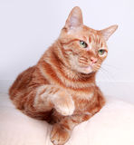 Cat. A angry cat in the white background Stock Photo