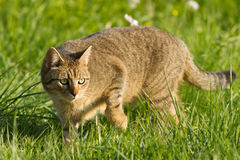 Cat. A cat on a green meadow Royalty Free Stock Photos