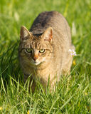 Cat. A cat on a green meadow Royalty Free Stock Photo