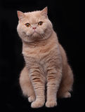 Cat. The cat in black background Stock Photography