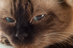 Cat. Close up of a siamese mixed with birmanese cat Royalty Free Stock Photos