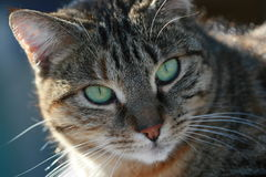 Cat. Portrait of a domestic cat stock photo
