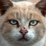 Cat. Common cat face photographed using Canon 350D royalty free stock photos