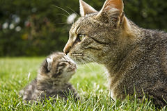 Cat. With kitten resting in the grass Royalty Free Stock Image