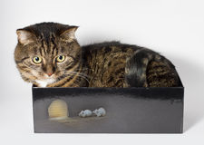 The Cat. Tabby cat in a black box with white mouses Royalty Free Stock Photos