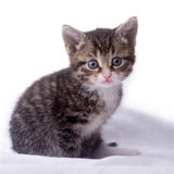Cat. Young adorable kitten posing in my studio Royalty Free Stock Photos