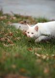 Cat. Beautiful blue eyed cat on green grass stock photo