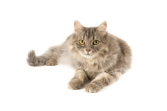 Cat Royalty Free Stock Photo