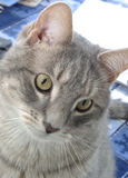 Cat. Looking down Royalty Free Stock Photography